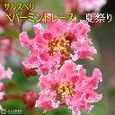 サルスベリ 『 ペパーミントレース ( 夏祭り ) 』 12cmポット苗