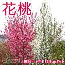 花桃 ( 照手 シリーズ ) 13.5cmポット苗