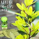 月桂樹 ( ローレル ) 『 オーレア ( 黄色葉 ) 』 10.5cmポット苗