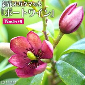 オガタマの木 『 紅花オガタマ 』 ポートワイン 15cmポット苗 (別名:バナナツリー)