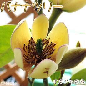 オガタマの木 ( カラタネオガタマ ) 15cmポット苗 (別名:バナナツリー)