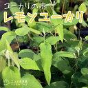 ユーカリの木『レモンユーカリ』 10.5cmポット苗