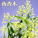 ナイトジャスミン ( 夜香木 / 夜香花 ) 9cmポット苗