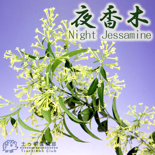 ナイトジャスミン ( 夜香木 / 夜香花 ) 12cmポット苗