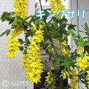 【楽天スーパーSALE 半額商品!】キングサリ(ボッシー) 15cmポット苗木( 黄花藤 )