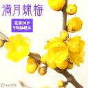 《 花芽付き 》 香る花木 『 満月蝋梅 ( マンゲツロウバイ ) 』 5号鉢植え 接ぎ木苗 <今だけポイント10倍 10/29昼…