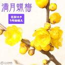 【楽天スーパーSALE 特価!】香る花木 『 満月蝋梅 ( マンゲツロウバイ ) 』 5号鉢植え 接ぎ木苗 《 花芽付き 》