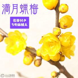 香る花木 『 満月蝋梅 ( マンゲツロウバイ ) 』 5号鉢植え 接ぎ木苗 《 花芽付き 》