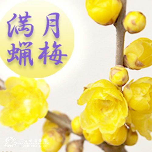 満月蝋梅(まんげつろうばい) 5号鉢植え 香る花木