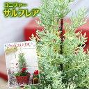 【楽天スーパーSALE 半額商品!】コニファー 『 サルフレア 』 15cmポット苗木 ( クリスマスの木 )