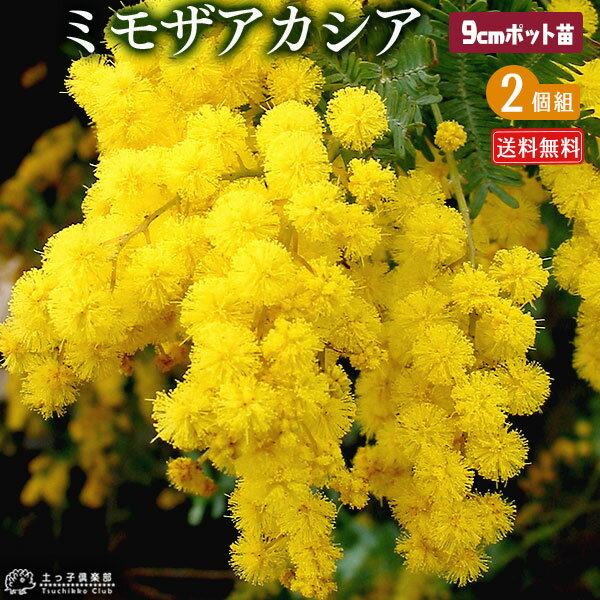 ミモザ アカシア ( ゴールデンミモザ ) 9cmポット苗 【 送料無料 】 【 2個セット 】