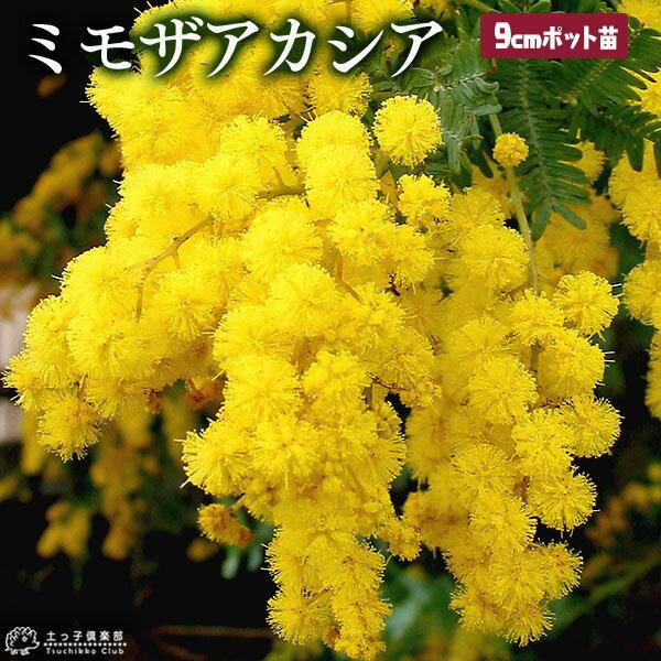 ミモザ アカシア ( ゴールデンミモザ ) 9cmポット苗