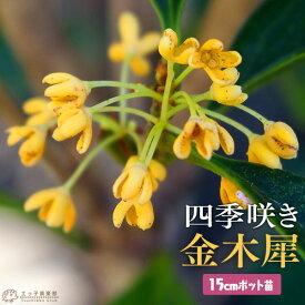 四季咲き金木犀 ( キンモクセイ ) 3年生 15cmポット苗