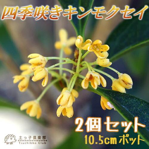四季咲き金木犀 ( キンモクセイ ) 10.5cmポット苗 【 2個セット 】
