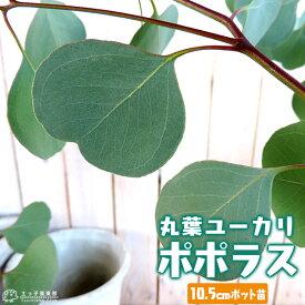 丸葉ユーカリ 『 ポポラス 』 シルバーダラーガム 10.5cmポット苗