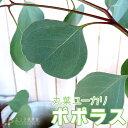 丸葉ユーカリ 『ポポラス』(シルバーダラーガム)10.5cmポット苗