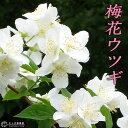 梅花ウツギ 『 香りバイカウツギ 』 5号鉢植え