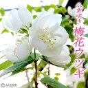 八重咲き 梅花ウツギ ( 五月梅 ) 5号鉢植え