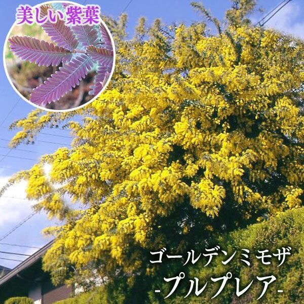 ゴールデンミモザ 『 プルプレア 』( 銀葉アカシア ) 10.5cmポット苗