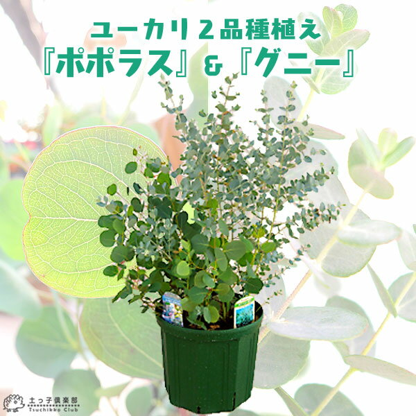 ユーカリ 2品種植え ( ポポラス & グニー)8号スリット鉢 <今だけポイント10倍 3/28昼迄>
