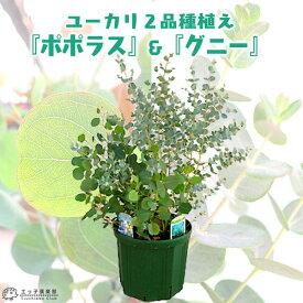 ユーカリ 2品種植え ( ポポラス & グニー)8号スリット鉢