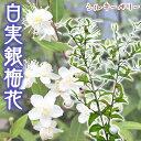 白実 銀梅花『 シルキーベリー 』 9cmポット苗 ( ギンバイカ マートル )【珍種】