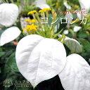 コンロンカ(ハンカチの花、ムッサエンダ) 10.5cmポット苗