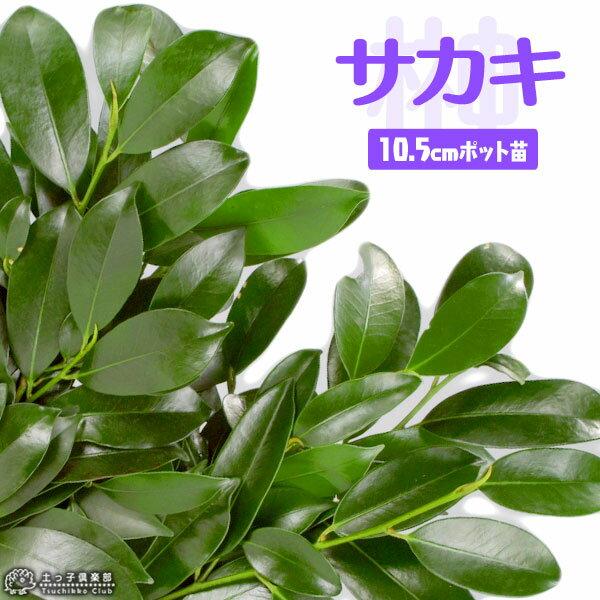 サカキ ( 榊 ) 10.5cmポット苗