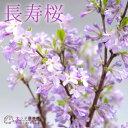 長寿桜 ( チョウジュザクラ ) 4号鉢植え《花芽付き》