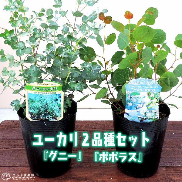 ユーカリ 2品種セット ( ポポラス & グニー ) 10.5cmポット苗 <今だけポイント10倍 3/28昼迄>