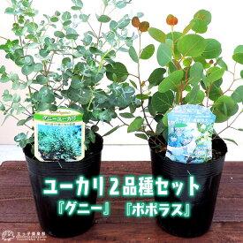 ユーカリ 2品種セット ( ポポラス & グニー ) 10.5cmポット苗
