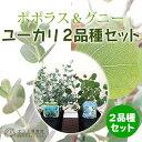 ユーカリ 2品種セット(ポポラス&グニー)10.5cmポット苗