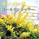 キンメツゲ『ゴールデンシャワー』(金芽ツゲ) 7.5cmポット苗