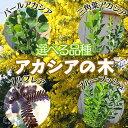 アカシアの木【選べる品種】ブルーブッシュ、三角葉、パール、プルプレア 10.5cmポット苗