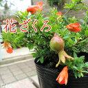 花ざくろ(一才ザクロ・姫ザクロ) 12cmポット苗