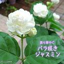 バラ咲きジャスミン 9cmポット苗 ( 八重咲き / マツリカ / ピカケ / アラビアンジャスミン )《花芽付き》