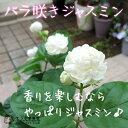 バラ咲きジャスミン 9cmポット苗(八重咲き/マツリカ/ピカケ/アラビアンジャスミン)