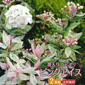 斑入りコデマリ 『 ピンクアイス 』 10.5cmポット苗 【 送料無料 】 【 2個セット 】