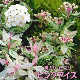 斑入りコデマリ 『 ピンクアイス 』 10.5cmポット苗