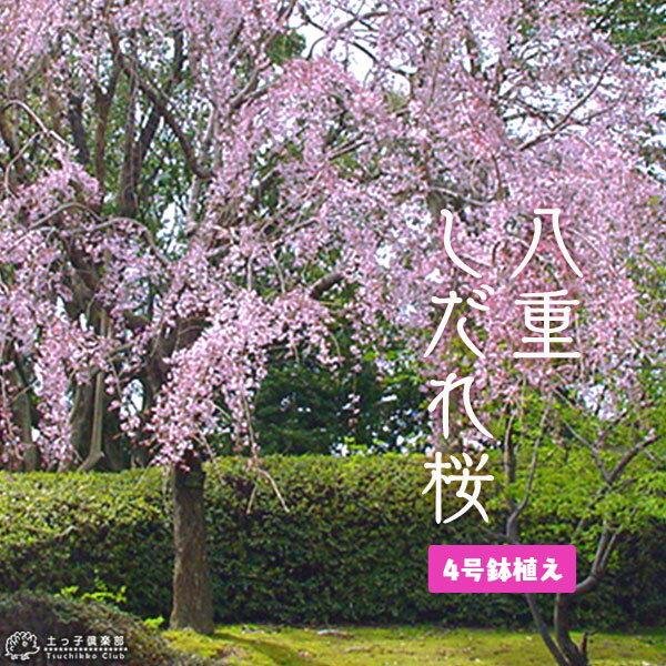 八重しだれ桜 ( ピンク ) 接ぎ木 12cmポット苗 ( 八重紅枝垂 )