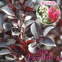 黒葉サルスベリ『ブラックパール』6号スリット鉢植え 【選べる花色】