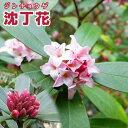 【楽天スーパーSALE 半額商品!】沈丁花 ( ジンチョウゲ ) 赤花 15cmポット苗