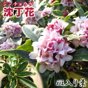【楽天スーパーSALE 半額商品!】斑入り 沈丁花 赤花 15cmポット苗( フクリン ジンチョウゲ )