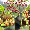 ドウダンツツジ( 紅更紗 / 口紅更紗 / 黄花 ) 10.5cmポット苗【 選べる品種 】 (サラサドウダン)