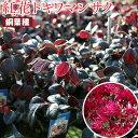 トキワマンサク『黒美人』(銅葉・紅花)12cmポット苗