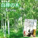 白樺 『 ジャクモンティ 』( シラカバ )15cmポット苗