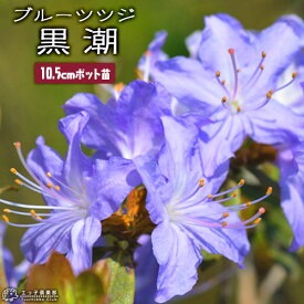 ブルーツツジ 『 黒潮 ( クロシオ ) 』 10.5cmポット苗 《 花芽付き 》