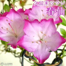 久留米ツツジ 『 春仙 (シュンセン)』 7.5cmポット苗 (盆栽仕立て)