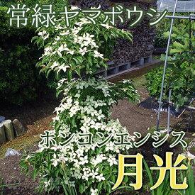 常緑ヤマボウシ 『 ホンコンエンシス ( 月光 ) 』 挿し木 10.5cmポット苗