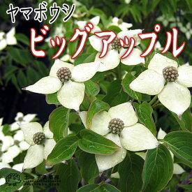 ヤマボウシ 『 ビッグアップル 』 13.5cmポット苗